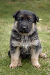 170084-dogs-baby-german-shepard