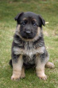 170084-dogs-baby-german-shepard