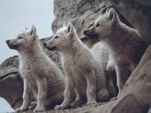 Baby Wolves baby_wolves