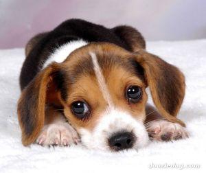 Beagle-Puppy-3