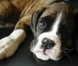 boxer-puppy__1_