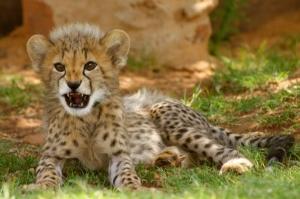 cheetah pics (7)