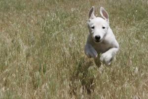 running greyhound puppy