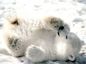 Playful_Baby_Polar_Bear-1600x1200-Bandwidth-thief