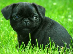 Pug-Puppy-For-Sale